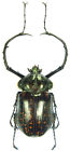 large Cheirotonus beetles