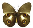 Amathusiidae for sale