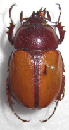 Dynastidae beetles for collectors
