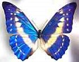 Blue Morpho for artwork
