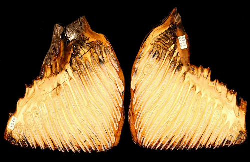 A mammoth tooth fossil from Siberia