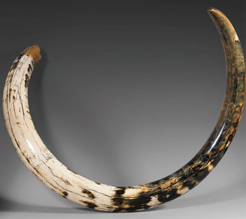 A very well preserved mammoth tusk