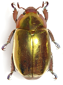 Chrysina gold beetle