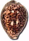 Rare Cypraea available